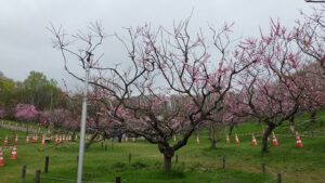 紅梅基準木