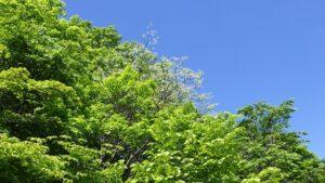 青空とイヌエンジュの銀色の芽吹き