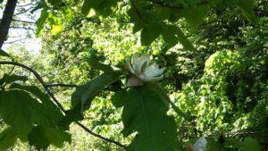 良い香のするホオノキの花