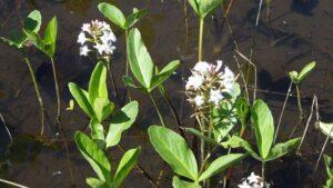 人工湿地に咲くミツガシワ