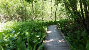 上流湿地木道 木道脇にはミズバショウの大きな葉