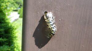 エゾシロチョウ蛹