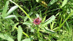人工湿地に咲くクロバナロウゲ