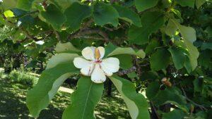 梅林に咲くホオノキの花