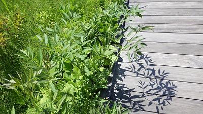 人工湿地のドクゼリの葉