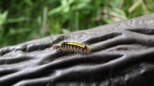 ドクガの幼虫
