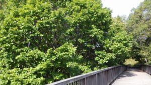 梅の香橋とミズナラ