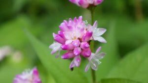 ミゾソバ花のアップ