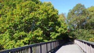 梅の香橋のミズナラ